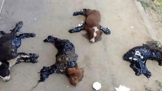4 chú chó con rên rỉ cầu cứu sau khi bị kẻ xấu nhúng vào thùng nhựa nóng rồi bỏ mặc bên đường