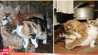 Quá chán cuộc sống đường phố, con mèo béo ú này đã đột nhập vào chuồng linh miêu và ăn ngủ tại đây