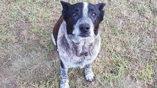 Chú chó cương quyết bảo vệ cô chủ nhỏ cho dù mình vừa mù và điếc vô cùng dũng cảm