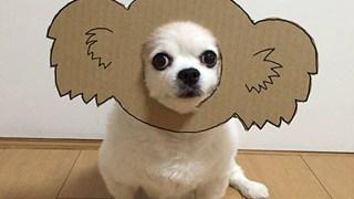 Chú chó cosplay bằng bìa các tông khiến cộng đồng mạng như tan chảy vì quá đáng yêu