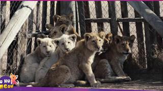 Sư tử ở Nam Phi được nhân giống để giết làm thuốc bán sang Trung Quốc hoặc phục vụ thú vui săn bắn
