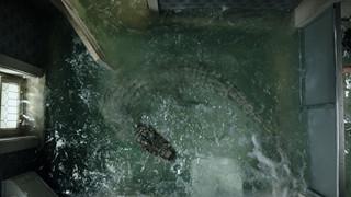 Khám phá 5 sự thật về loài cá sấu châu Mỹ trước khi xem Địa đạo cá sấu tử thần