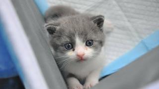 35.400 USD một con mèo nhân bản vô tính ở Trung Quốc