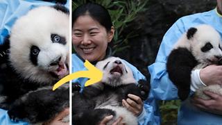 """Khoảnh khắc dễ thương: Anh em gấu trúc bị bắt """"chào cô chú đi con"""" nhưng chỉ muốn tháo chạy khỏi vòng tay nhân viên sở thú"""