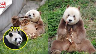Chú gấu trúc nâu duy nhất trên TG bị đồng bọn chối bỏ và bắt nạt: Khó sống vì khác biệt