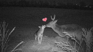 """Góc đáng yêu: Cô chó husky """"dạt nhà theo trai"""", chạy vào rừng để hẹn hò với một cậu nai đực hoang dã"""