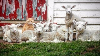 Siêu ngạc nhiên với chú mèo có tài thiên bẩm về chăn cừu