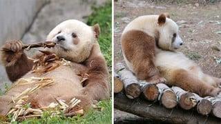 """Gấu trúc màu nâu duy nhất trên thế giới bị """"bắt nạt"""" đã được nhận nuôi"""
