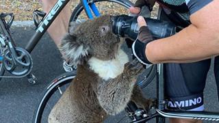 Úc: Kiệt quệ vì nắng nóng, chú gấu túi leo luôn lên xe đạp của người lạ để xin nước uống, một hơi tu sạch cả bình