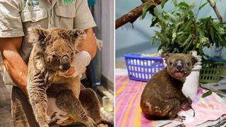 Nhà không còn, Gấu Koala sẽ sống sót ra sao sau vụ cháy rừng ở Australia