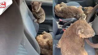 Chàng trai cho 20 gấu Koala đi nhờ xe, cứu sống khỏi đám cháy tại Úc