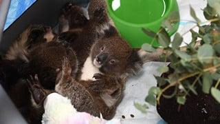 Hình ảnh đáng buồn bên trong các trạm cứu hộ gấu túi Koala từ vụ cháy rừng