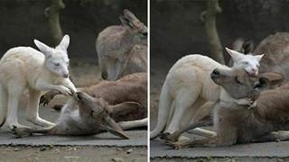 Bức ảnh chú Kangaroo cố gắng lay mẹ dậy trong đám cháy rừng tại Úc và sự thật phía sau