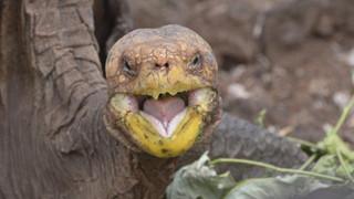 Cụ rùa trăm tuổi làm chuyện ấy nhiều đến nỗi cứu cả giống loài khỏi tuyệt chủng, nửa thế kỷ đẻ 800 đứa con