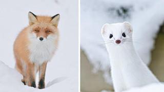 """Điểm mặt 7 loài động vật dễ thương vô cùng tại """"đảo thiên đường"""" Hokkaido"""