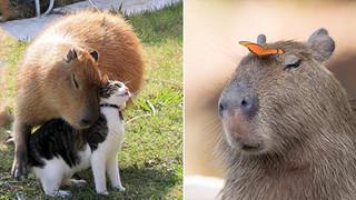 Chỉ mong đời thật an nhiên và yên bình như chuột lang béo ú: Thân thiện như hoa hậu hoàn vũ, giao lưu từ đầu gấu cho tới hiền lành trong giới động vật