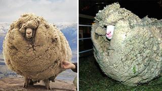 """Chú cừu bỏ trốn vào hang động vì sợ cạo lông và cái kết """"hết hồn"""" sau 6 năm"""