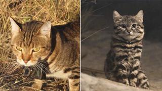 Đây là lý do tại sao những con mèo đang làm cho thảm họa cháy rừng ở Úc thêm tồi tệ