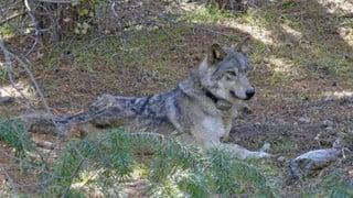 Cô sói lập kỷ lục đi 14.000 km để kiếm bạn tình, nhưng rồi lại chết trong cô đơn