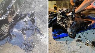 Thương cảm trước chú cún cưng vô tình rơi vào đống nhựa đường mém chết nhưng may mắn được cứu trợ kịp thời