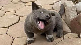 """Dúi - chú cún Việt Nam đang gây bão mạng toàn thế giới vì độ """"phởn"""" và vẻ ngoài ngộ nghĩnh """"không biết là chó hay mèo?"""""""