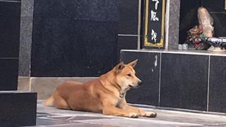 Chú chó nằm bên cạnh mộ chủ không rời khiến người ta rưng rưng xúc động