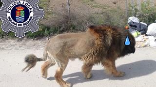 """Chó """"không mặc quần"""" khiến dân đinh ninh là sư tử xổng chuồng"""