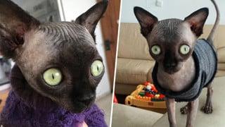 """Tưởng dơi nhưng hóa ra lại là mèo, cô """"boss"""" bỗng nhiên nổi tiếng trên mạng xã hội vì ngoại hình lạ mắt"""