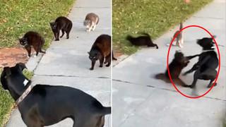 """Đi lạc vào chỗ các boss mèo đang chill, chú chó tội nghiệp bị cả """"băng đảng"""" đuổi chạy tóe khói"""