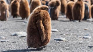 Bạn có biết - Chim cánh cụt hoàng đế đi nặng ra khí bóng cười