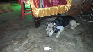 Vì chủ mất mà nhịn ăn, chú chó qua đời ngay sau tang lễ