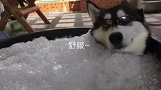 Husky chỉ lo phá nhà phá cửa liền bị chủ nhân vùi trong nước đá, ai ngờ đâu nó càng khoái chí
