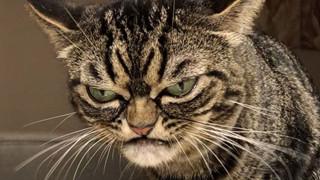 Mặt lúc nào cũng 'không vui vẻ hay quạu', chú mèo khó ở vẫn được dân mạng săn đón nhiệt tình vì chính sự độc đáo của mình