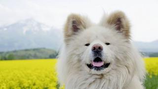 Wasao - chú chó lông dài nổi tiếng, từng là đại sứ du lịch Nhật Bản, trưởng ga tàu đã qua đời ở tuổi 13