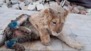Tổng thống Putin nổi nóng khi chú sư tử Simba bị đánh gãy chân chỉ để cho du khách tiện chụp ảnh