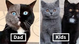 """Mèo bố """"2 mặt"""" đẹp trai lai láng nhưng 2 hậu duệ mới là sự di truyền hoàn hảo"""