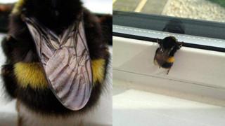 """Chú ong bị """"thần heo nhập"""", chăm chỉ hút mật đến độ béo ục ịch không cất nổi cánh bay!"""