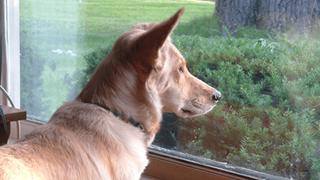 Chú chó đều đặn 3 lần một ngày nhìn ra cửa sổ suốt 6 tháng liền bỗng dừng hẳn rồi sinh trầm cảm, chủ tìm hiểu mới biết lý do tại sao