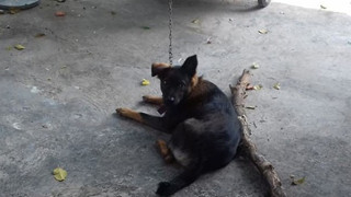 """Hy hữu: Chú chó bị 2 gia đình tranh chấp quyền nuôi dưỡng, tăng cân vù vù khi bị """"tạm giữ"""" tại trụ sở công an"""