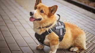 Chú chó nghiệp vụ Corgi duy nhất tại Nga nghỉ hưu sau 7 năm cống hiến