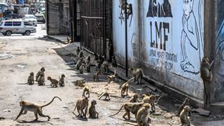 Loạt ảnh khỉ nghiện sex chiếm đóng thành phố tại Thái Lan trông không khác gì phim kinh dị viễn tưởng