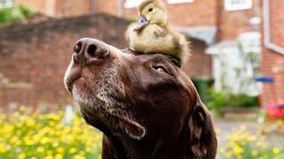 Chú chó làm bảo mẫu bất đắc dĩ của vịt con nhưng luôn cưng nựng hết mực, đi đâu cũng cõng trên lưng