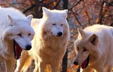 Meme Laughing Wolves là gì ? Vì sao hình ảnh những con sói cười lại trở nên nổi tiếng vậy