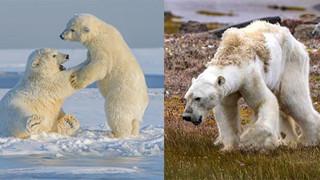 Gấu Bắc Cực sắp biến мấᴛ vĩnh viễn khỏi trái đất vì con người