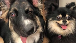Chó mặt xếch vừa thương vừa buồn cười trở thành bác sĩ tâm lý cho động vật khuyết tật