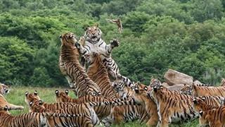 Cảnh tượng hiếm có: Cả đàn hổ Siberia hùng hục đuổi theo bắt chim trong bất lực