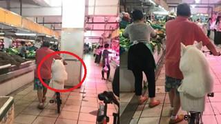 Chó Samoyed béo được chủ chiều hết mực, cho ngồi giỏ xe cùng đi chợ