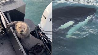 Bị cá voi truy sát, Rái cá nhảy lên thuyền của Hooman để trốn
