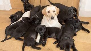 Chó mẹ lông vàng nhưng lại sinh được 13 chú cún con đen sì, chủ nhân vừa vui vừa khóc thầm vì cả đám ăn nhiều quá