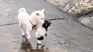 Chó mẹ dũng cảm liều mạng vượt nước lũ cứu con của mình tại Trung Quốc